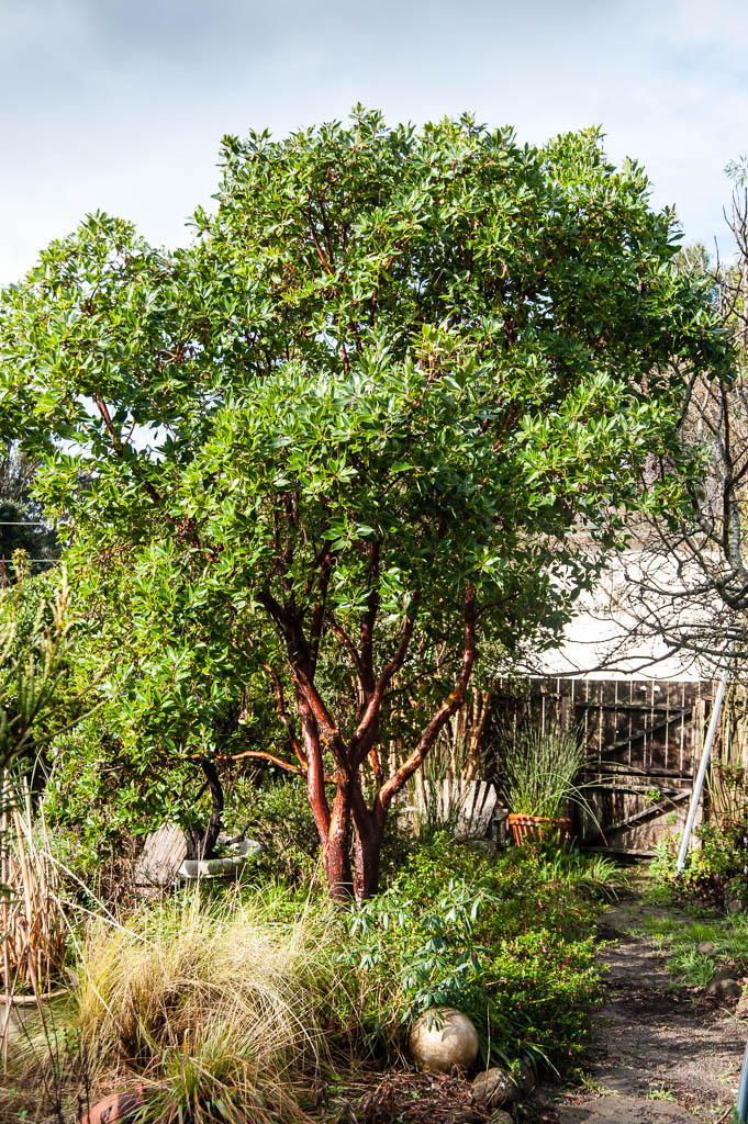 arbutus marina strawberry tree - photo #3