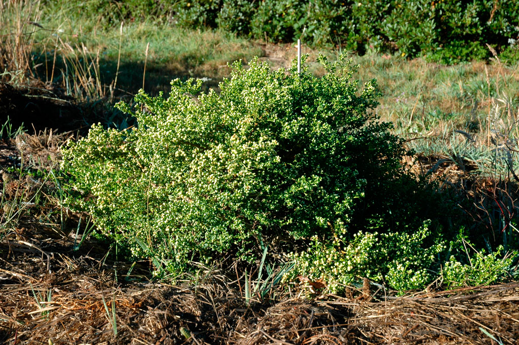 Baccharis Pilularis Pigeon Point Mostly Natives Nursery