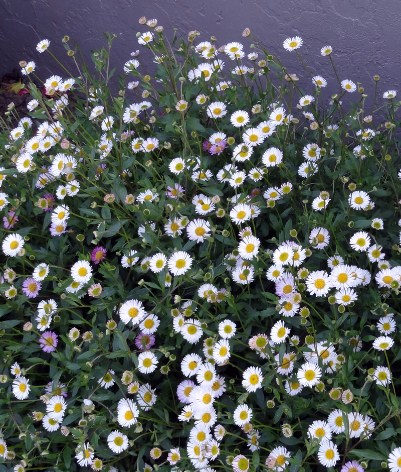 Erigeron Karvinskianus Mostly Natives Nursery