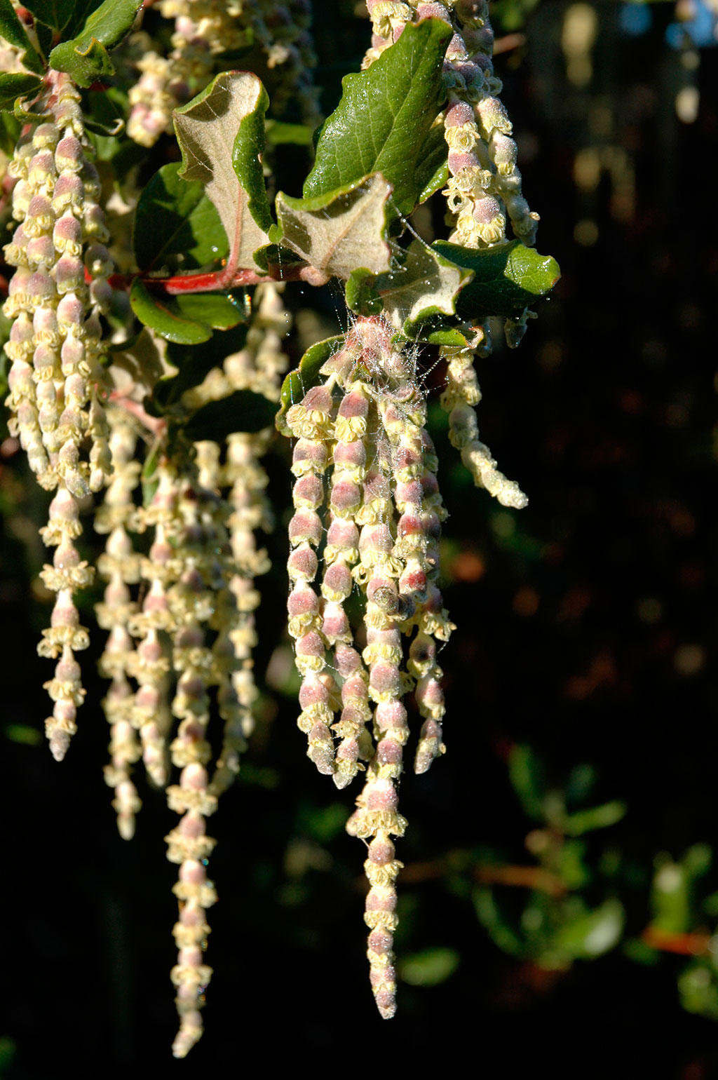 Garrya Elliptica Evie Mostly Natives Nursery