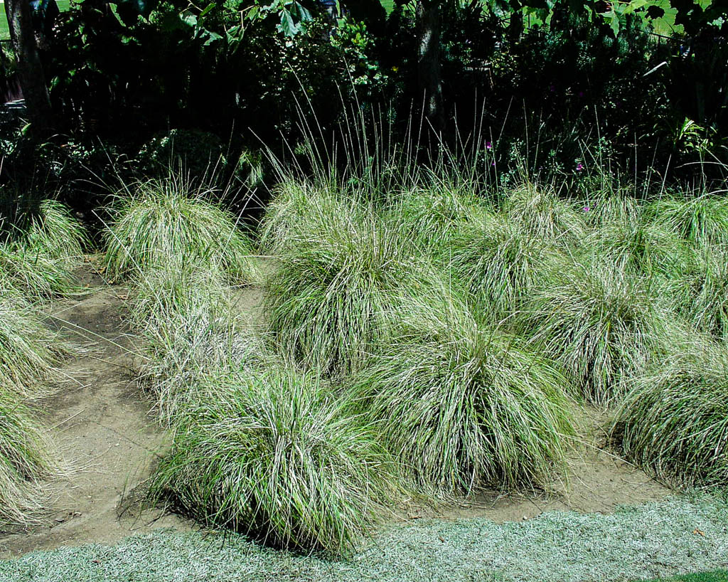 Muhlenbergia Rigens Mostly Natives Nursery