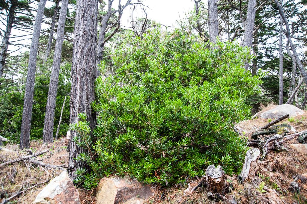 Myrica californica   Sevenoaks Native Nursery
