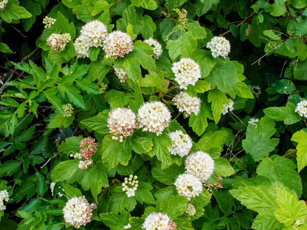 Physocarpus Capitatus Mostly Natives Nursery