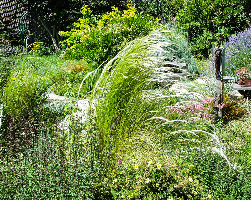 Stipa Ichu Mostly Natives Nursery