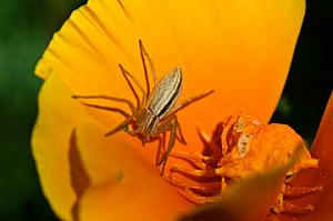 Poppy with spider