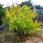 Acer macrophyllum  big leaf maple