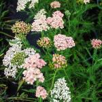 Achillea  Salmon Beauty yarrow