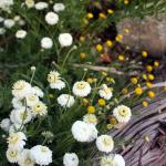 Anthemis nobilis alba  chamomile