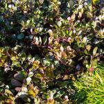 Arctostaphylos uva-ursi Radiant bearberry
