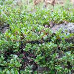Arctostaphylos uva-ursi Wood's Compact manzanita