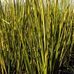 Baumea rubiginosa v. variegata striped rush