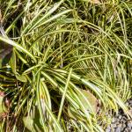Carex morrowii Evergold golden variegated Japanese sedge