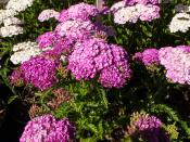 Achillea  Apple Blossom yarrow