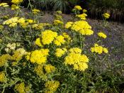 Achillea taygetea  yellow yarrow