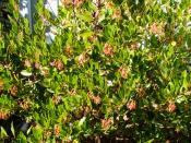 Arbutus unedo Oktoberfest compact strawberry tree