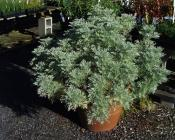 Artemesia  Powis Castle wormwood