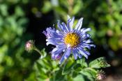 Aster frikartii Monch Monch's aster