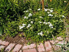Achillea millifolium  yarrow