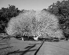 Aesculus californica  California buckeye
