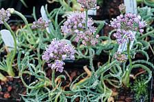 Allium senescens v glaucum  curly onion