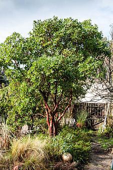 Arbutus x Marina  strawberry tree
