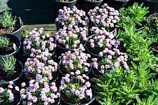 Armeria juniperifolia  dwarf sea thrift