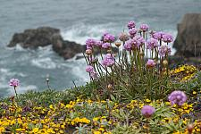 Armeria maritima californica  California sea thrift