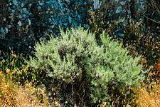 Artemesia californica  California sagebrush