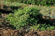 Baccharis pilularis Pigeon Point dwarf coyote bush