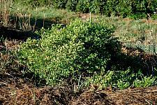 Baccharis pilularis Pigeon Point dwarf coyote bush