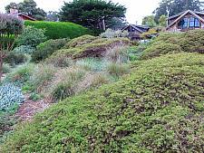 Baccharis pilularis Twin Peaks prostrate coyote bush