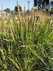 Calamagrostis nutkaensis The King Pacific reed grass