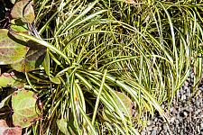 Carex morrowii Evergold golden variegated Japanese sedge