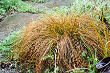 Carex testacea  orange colored sedge