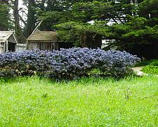 Ceanothus x Dark Star wild lilac