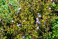 Ceratostigma griffithii  Burmese plumbago