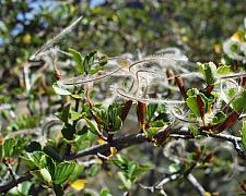 Cercocarpus  betuloides  Mountain Mahagony