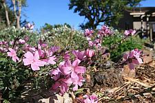 Sidalcea malvaeflora  checkerbloom