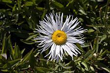Chrysanthemum  Brett's choice chrysanthemum