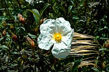 Cistus x Elma white rock rose