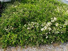 Clematis ligusticifolia  virgin's bower