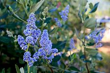 Ceanothus arboreus Cliff Schmidt Clif Schmidt Wild Lilac