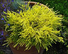 Coleonema pulchrum Sunset Gold golden breath of heaven