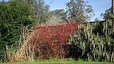Cornus sericea ssp Occidentalis  creek dogwood