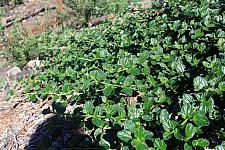 Ceanothus griseus horizontalis  Carmel Creeper Ceanothus