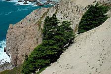 Cupressus macrocarpa  Monterey cypress