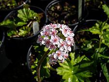Darmera peltata  umbrella plant