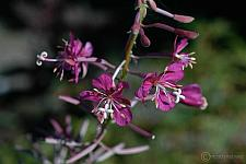 Epilobium angustifolium  fireweed