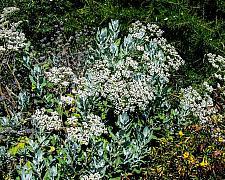 Eriogonum giganteum  Saint Catherine's lace