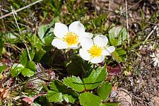 Fragaria chiloensis  beach strawberry